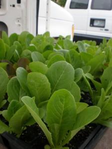 lettuce plants at central