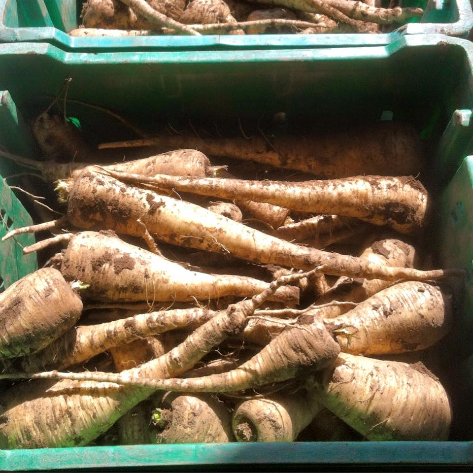 parsnips_april