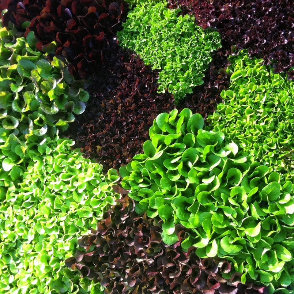 lettucemay